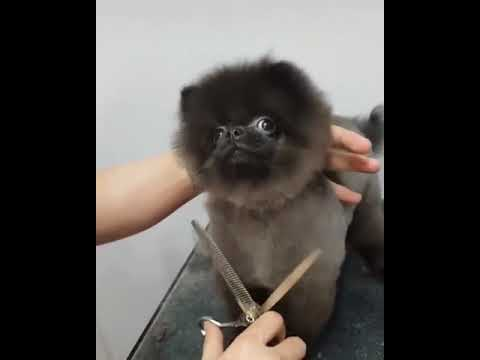 Dog getting his hair cut to Ducktales theme