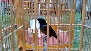 Langsung Respon!!! Terapi Burung Kolibri Ninja  Lelet Dan Males Bunyi