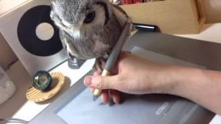 Смотреть онлайн Невозмутимая сова видит на руке