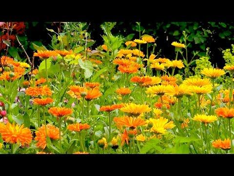 Ringelblume Calendula - Wuchs und Pflege