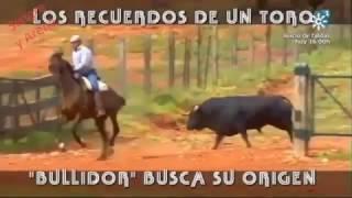 Los Recuerdos De Un Toro, Bullidor Busca Su Orígen