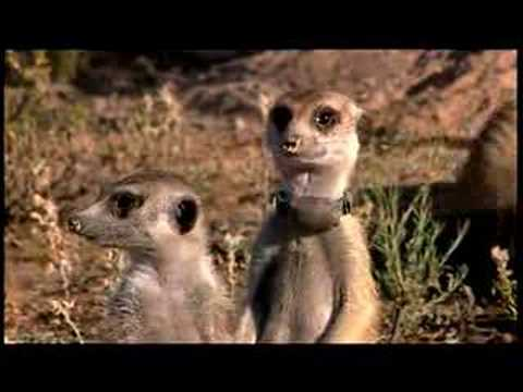 Dieren kaarten, A clip from Animal Planets new series Meerkat..