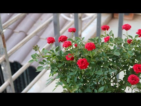 , title : 'How to grow roses for beginners | Garden ideas'