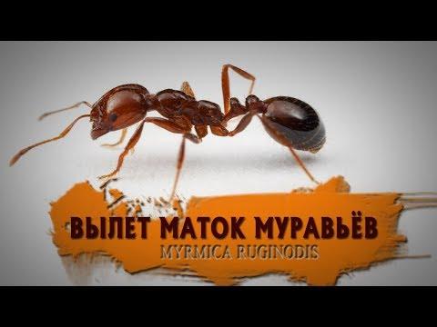 ВЫЛЕТ МАТОК МУРАВЬЁВ (MYRMICA RUGINODIS)