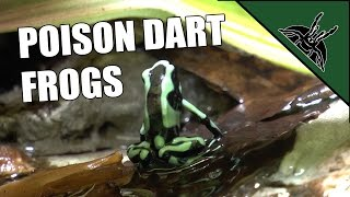 Poison Dart Frogs - Dendrobates Auratus