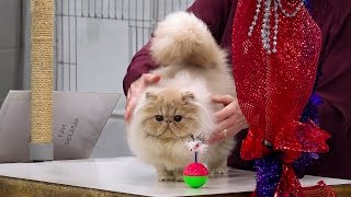 CFA International 2016 - Purple Show.Persian kitten solid class