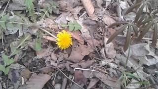 Dandelion Searches Neighbor Plant To Identify It As... - Video Youtube