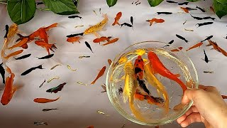 Halfmoon Betta Fish Molly Redtail Catfish Guppy Guppies Carp Carps Goldfish Cute baby animals Videos