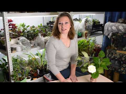 Когда сеять капусту на рассаду: посев капусты и выращивание рассады капусты