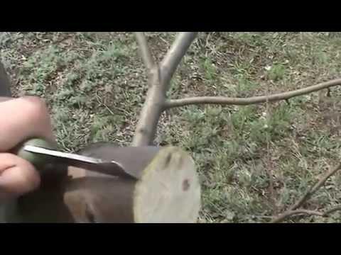 Прививка яблони весной (grafting Apple trees)