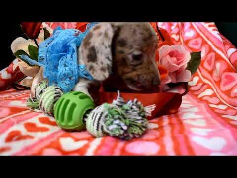 Logan AKC Male Chocolate Tan Dapple SH Miniature Dachshund Puppy for sale!