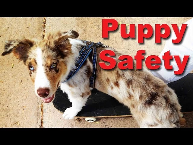 Puppy Safety - Every puppy owner should know this - Dog training