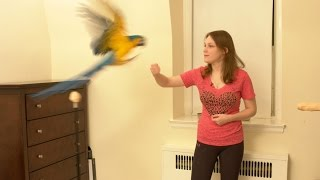Rachel Blue and Gold Macaw - Teaching a Parrot to Flight Recall