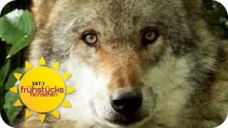 Wolf im Wohngebiet Bottrop: Wann wird er die Menschen angreifen? | SAT.1 Frühstücksfernsehen | TV