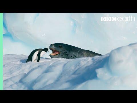 Malý tučňák prchá před obřím tuleněm - BBC Earth