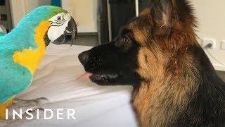Parrot Is Best Friends With 2 German Shepherds
