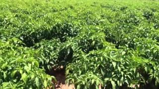 Hatch chile crop update