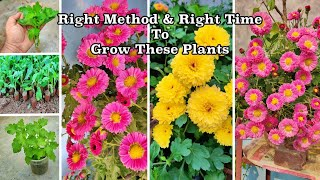 Right Time To Grow Chrysanthemum (गुलदाउदी ) From Its Cuttings | Preparation For Winter Season Plant