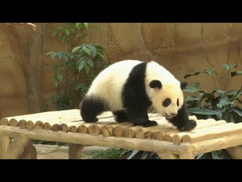 Panda celebrates first birthday in Malaysian zoo with ice cake
