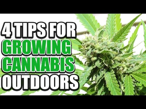 4 Fundamental Tips For Growing Cannabis Outdoors