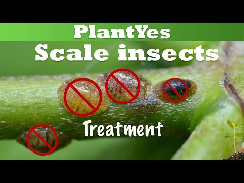 , title : '[Plant Pest] 🛑 Scale Insects on Houseplants & How To Get Rid of Them 🧹