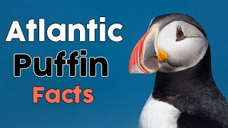 The Atlantic Puffin Facts