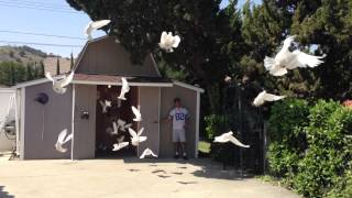 Very Very Large Dove Release