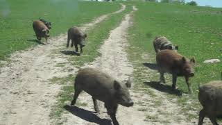 River styx PIGGIES not PUPPIES!! Wild Boar and domestic piglets