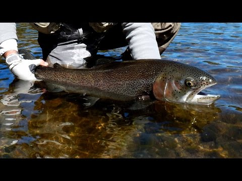 Huge Rainbow trout in Patagonia