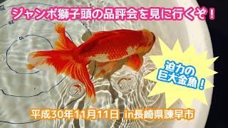 動画で金魚『ジャンボ獅子頭の品評会を見にいくぞ*^^vin長崎県諫早市』H30.11.11