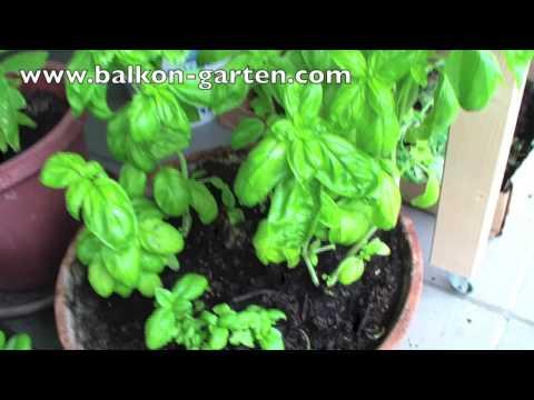 Basilikum düngen und pflegen    Meine Balkon Garten Tipps