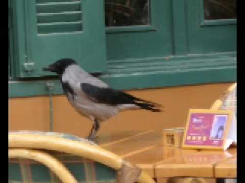 The Cairo Marriott Crow