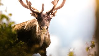 Solo Trip Fly Fishing and Wildlife Photography in Lapland