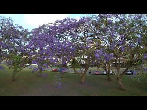 jacaranda-trees-filmed-with-gitup-f1-strapped-to-bottom-of-mjx-bugs-2c
