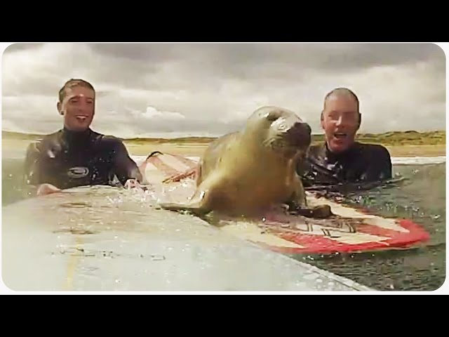 Baby Seal Surprises Surfers | Surf Seal of Approval