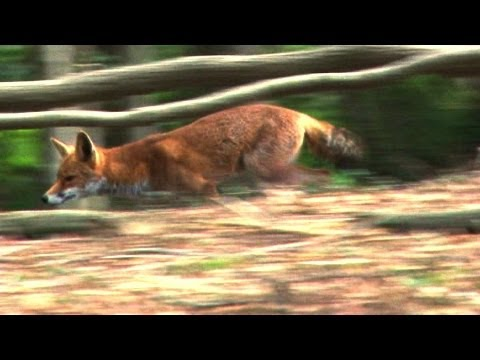 Roy calls – foxes come