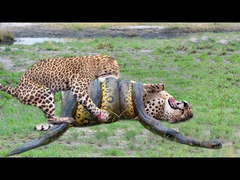 OMG! Giant Python Hunt Leopard Cubs When Mother Leopard Hunting Impala, Anaconda vs Crocodile