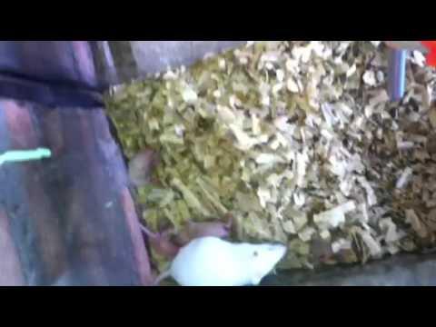Video Cara ternak tikus putih mancit mencit dan ternak hamster