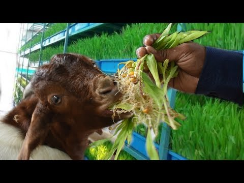 Hydroponic Fodder For Goats | Ashwin Sawant