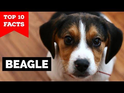 hogyan fogynak a beaglesek)