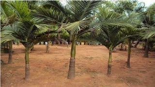 Curso Cultivo de Palmeira Real para Produção de Palmito - Cursos CPT
