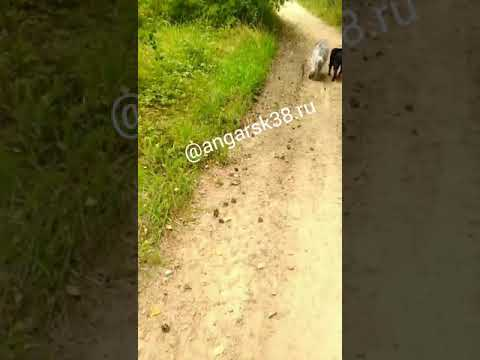 Собака покусала ангарчанку на утренней пробежке (29.08.2019)