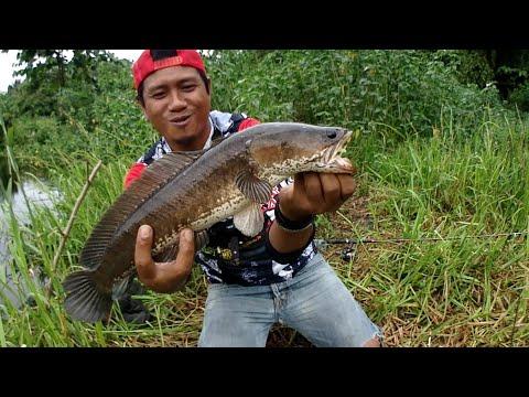 NGERI!! Inilah Spot Tersembunyi INDUKAN Ikan Gabus Dan Sepat Babon
