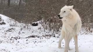 Suara Srigala ( wolf sound )