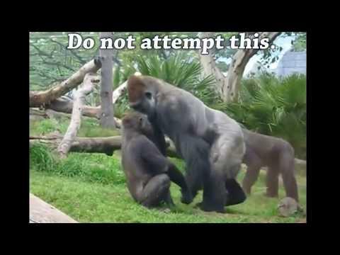 Gorilla vs Chimp?  Ape Attacks