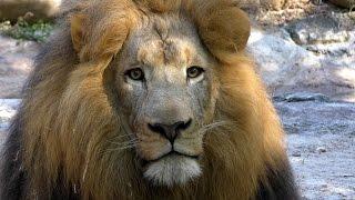 Lion Eyes UHD 4K FYV