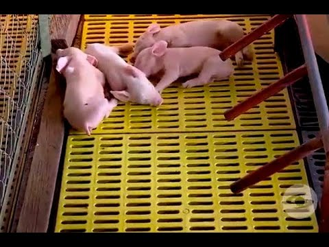 Cómo hacer más cómodas las jaulas parideras para cerdas | Noticias Caracol