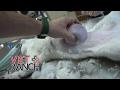Kissan leikkaus