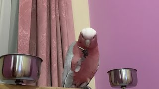 What a Parrot should eat? What my Pink Galah eat in a Day.