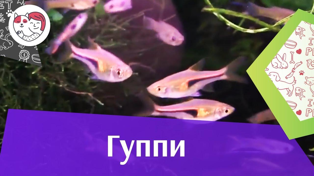 Гуппи АкваЛого на ilikePet